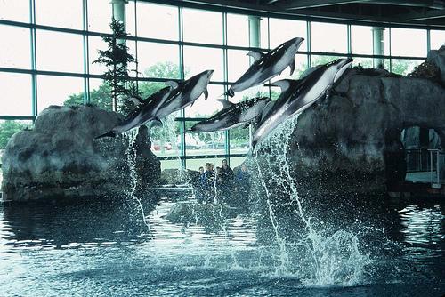 Golfinhos do Shedd Aquarium