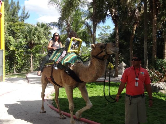 Miami Zoo - Passeio de Camelo
